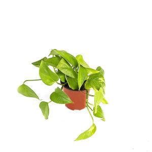 스킨답서스 관엽 공기정화식물 미세먼지 그린테라피