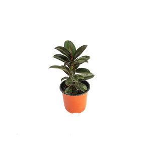 고무나무 관엽 공기정화식물 미세먼지 그린테라피