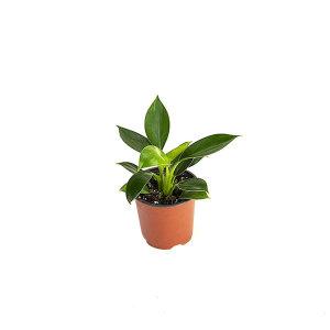 콩고 관엽 공기정화식물 미세먼지 그린테라피