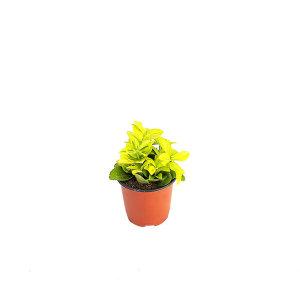 금사철 관엽 공기정화식물 미세먼지 그린테라피