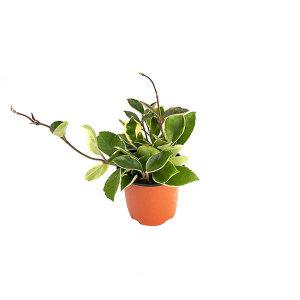 호야 관엽 공기정화식물 미세먼지 그린테라피