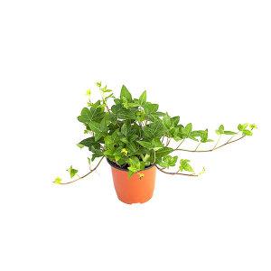 아이비 관엽 공기정화식물 미세먼지 그린테라피