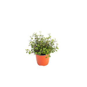 트리안 관엽 공기정화식물 미세먼지 그린테라피
