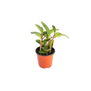 홍페페 관엽 공기정화식물 미세먼지 그린테라피