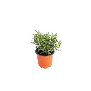 로즈마리 관엽 공기정화식물 미세먼지 그린테라피