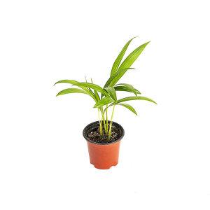 아레카야자 관엽 공기정화식물 미세먼지 그린테라피