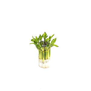 개운죽 관엽 공기정화식물 미세먼지 그린테라피