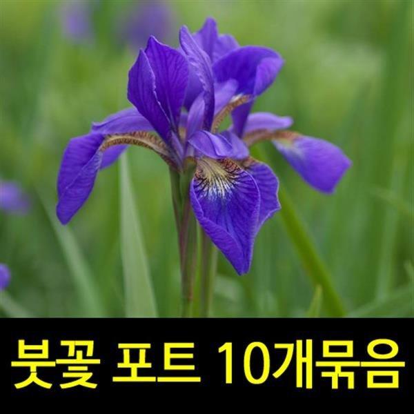 순희농장/붓꽃/포트/10개묶음/붓꽃모종/아이리스/노란