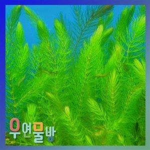 마츠모(붕어마름) 10촉 / 수초용품  어항용품  어항수