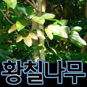 순희농장/황칠나무/포트/3개/황칠나무/황칠묘목/황칠