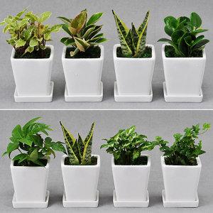 가꾸지오 공기정화식물 사각화이트화분4p세트