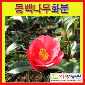 FB희망/동백나무화분(소)/2개묶음/동백나무판매