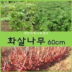 화살나무 화살나무 60cm 1주
