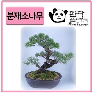 PFC002 귀한분 기념일 생일 축하화분 소나무분재