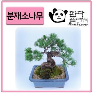 PFC006 거래처 진급 승진 선물 명품소나무 분재