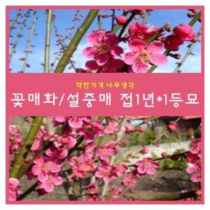 꽃매화 꽃매화/설중매 접1년1등묘 1주
