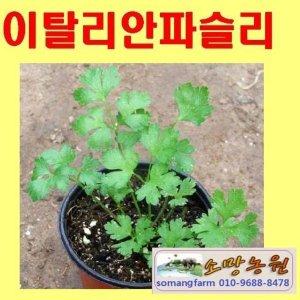 F(소망)이탈리안파슬리 화분(소) 5개/이태리파슬리
