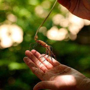 백년지기산야초 산양삼 5년근 10뿌리 산양산삼 장뇌삼