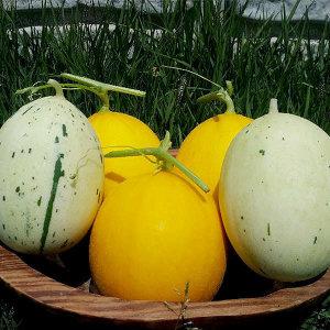 (현대Hmall) 자연맛남  달콤한 허가네 성산 메론 3종세트 10kg(9∼14과/양구+설향+백자)