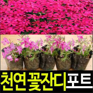 (순희농장)/꽃잔디/꽃잔디모종/15개묶음/진분홍