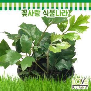 시서스-담쟁이덩굴/오존경보식물/실내원예