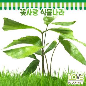 공작야자나무-야자나무/상록교목/실내원예식물