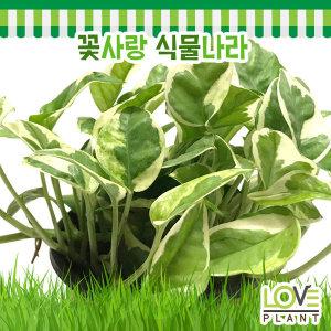 에피프렘넘엔조이스킨-스킨답서스/관엽식물