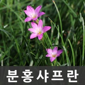 샤프란 x 10포트(분홍/야생화/모종/화분/꽃/식물)