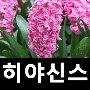 히야신스 꽃구근 백합과 다년초 핑크 7개묶음