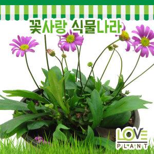 사계국화-국화/야생화/사계절꽃이피는식물/