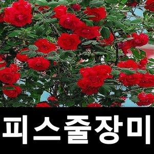 피스사계덩굴장미 피스줄장미 빨강 1~2지