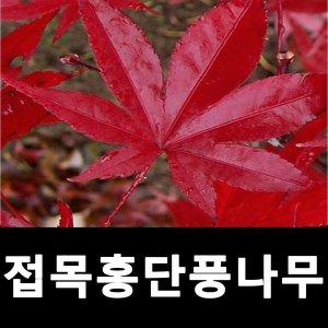 홍단풍나무 묘목 접목홍단풍 접목1년 4주묶음