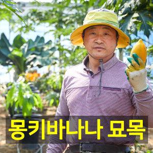 안동파파야농장 열대 몽키바나나묘목 2개(월수금발송)