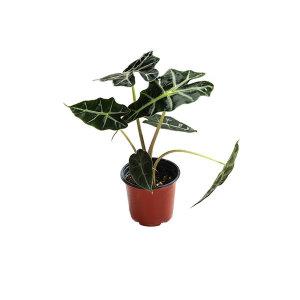 거북이알로카시아 관엽 공기정화식물 그린테라피