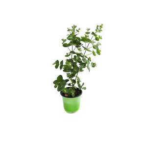 유칼립투스 관엽 공기정화식물 그린테라피