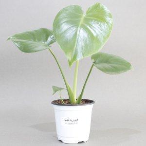 몬스테라 공기정화식물