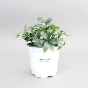 죽백나무 공기정화식물