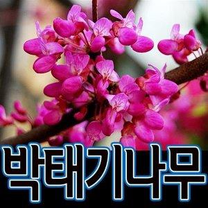 순희농장/박태기나무묘목/박태기묘목/밥티나무묘목/