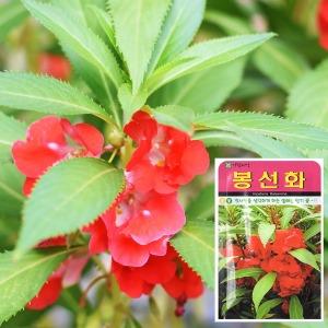 봉선화 씨앗 (500립)  꽃씨앗 꽃씨 봉숭아 꽃 씨앗