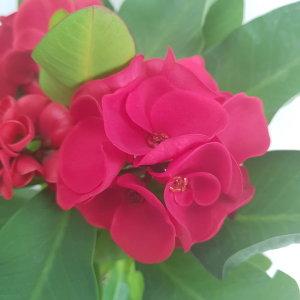 (온누리꽃농원) 대왕꽃기린-빨강