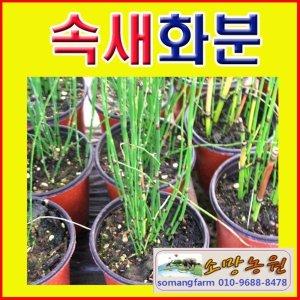 F(소망)속새 화분(소)/2개 묶음배송/속새모종판매