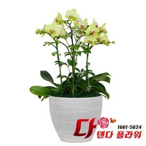전국꽃배달 당일배송 다덴다플라워 서양난 포춘 호접