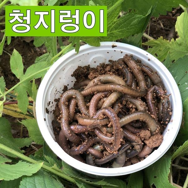 산지렁이 / 청지렁이 장어 낚시용미끼 살아있는지렁이