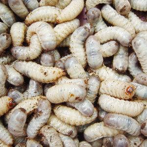 살아있는 생 굼벵이 500g 식용가능한 꽃벵이 애벌레