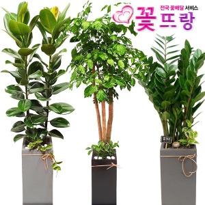 개업화분 전국당일꽃배달 행운목/금전수/포인세티아