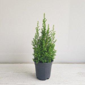 (온누리꽃농원) 편백나무/공기정화식물/반려식물