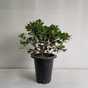 (온누리꽃농원) 만리향/공기정화식물/반려식물