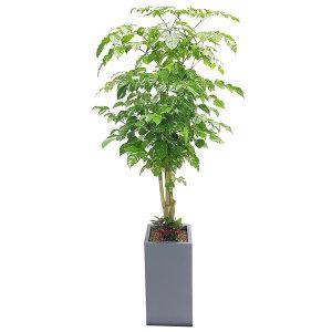 녹보수(대박나무) 꽃배달 개업화분