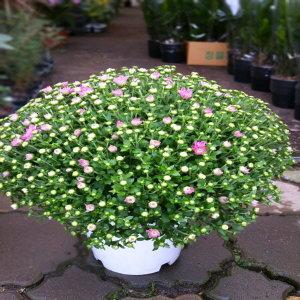 소나무집 아름드리 국화꽃 다발화분 가을식물 1708