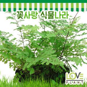 아이안텀(아디안텀)-저면관수식물/수경재배/관엽식물